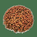 Belgian Mums® Staviski Orange