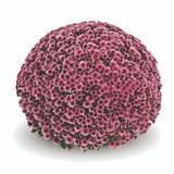 Belgian Mums® Vigorelli Violet