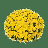 Belgian Mums® Padre Yellow