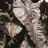 Colocasia Royal Hawaiian® Black Coral