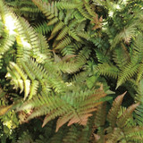 Dryopteris Brilliance (Autumn Fern)