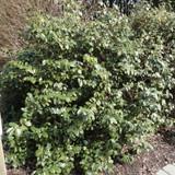 Elaeagnus ebbingei (Russian Olive)