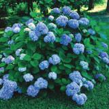 Hydrangea mac. Nikko Blue