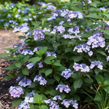 Hydrangea mac. Endless Summer® Twist-N-Shout®