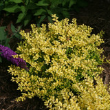 Ilex Brass Buckle® (Japanese Holly )
