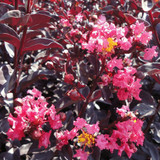 Lagerstroemia Midnight Magic™ (Crape Myrtle)
