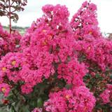 Lagerstroemia Pink Velour® (Crape Myrtle)