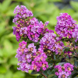 Lagerstroemia Purple Magic (Crape Myrtle)