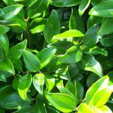 Ligustrum japonicum (Privet)
