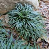 Ophiopogon Nana (Mondo Grass)
