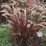 Pennisetum Fireworks (Variegated Fountain Grass)