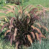 Pennisetum Rubrum (Purple Fountain Grass)