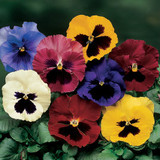 Pansy Delta™ Premium Blotch Mix