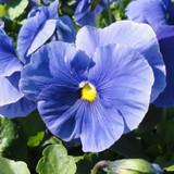 Pansy Delta™ Premium True Blue