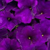 Petunia Supertunia® Royal Velvet®