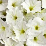 Petunia Supertunia® White
