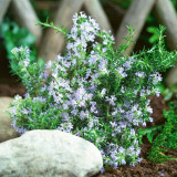 Rosmarinus Tuscan Blue