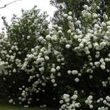 Viburnum Sterile (Chinese Snowball)