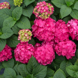 Hydrangea mac. Endless Summer® Summer Crush®