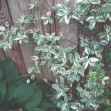 Trachelospermum Variegata