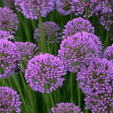 Allium Millenium (Ornamental Onion)