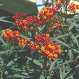 Asclepias Silky Deep Red (Milkweed)