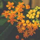 Asclepias Silky Gold (Milkweed)