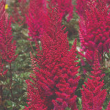Astilbe Lowlands Ruby Red