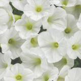 Petunia Supertunia® Mini Vista White