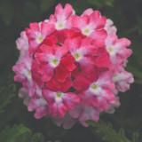 Verbena EnduraScape™ Pink Fizz