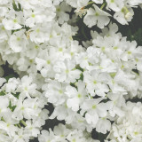 Verbena Superbena® Whiteout™