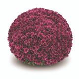 Belgian Mums® Arluno Purple