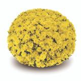 Belgian Mums® Arluno Yellow