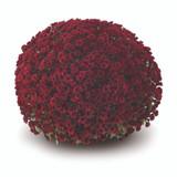 Belgian Mums® Vigorelli Red