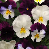 Pansy Cool Wave® Berries 'N Cream Hanging Basket