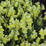 Snapdragon Speedy Sonnet Yellow