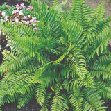 Nephrolepis biserrata (Macho Fern)