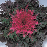 Brassica Coral Queen (Ornamental Kale)