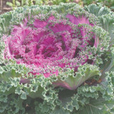 Brassica Red Kamome™ (Ornamental Kale)