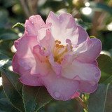 Camellia October Magic® Orchid™
