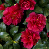 Camellia October Magic® Ruby™