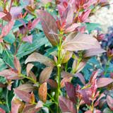 Viburnum Coppertop™
