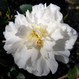 Camellia Mine-No-Yuki
