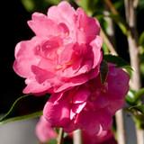 Camellia October Magic® Rose™