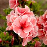 Azalea Autumn Sunburst®