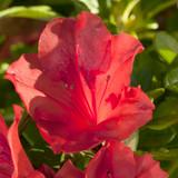 Azalea Autumn Sunset™