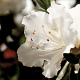 Azalea Autumn Angel®