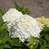 Hydrangea pan. White Wedding®
