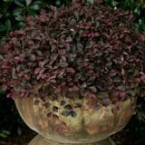 Loropetalum Purple Pixie®