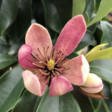Magnolia Stellar Ruby